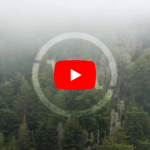 Fog In A Pine Forest | Timelapse Stock Footage